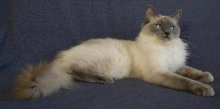 Blue Ragdoll Cats | Blue Point Ragdolls, Blue Mitted ...