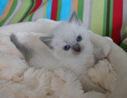 Palace Cats Ragdoll Kitten
