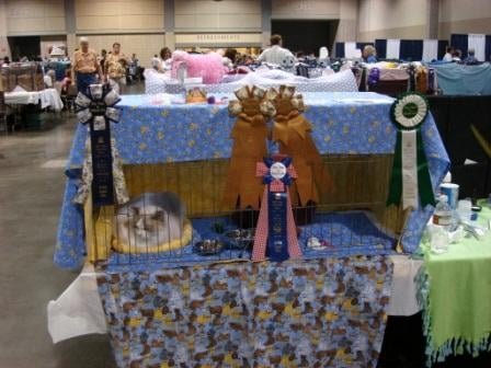 Rag Time in Kansas City Cat Show 2008