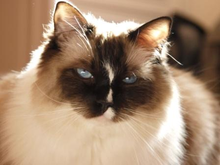 Murphy, a Seal Mitted Ragdoll with a Blaze