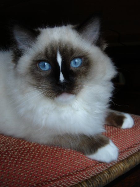 About Floppycats Ragdoll Cats Blog Ragdoll Cat Information Myths