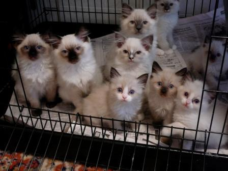 Catastrophe/Lonerock - Ragdoll Cats and Kittens - All colors and ...