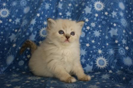 Ragdolls cats florida