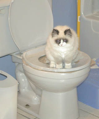 train cat use toilet