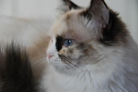 Pacificats Pippa Longstockings, a seal tortie point bicolor girl at 7 months old