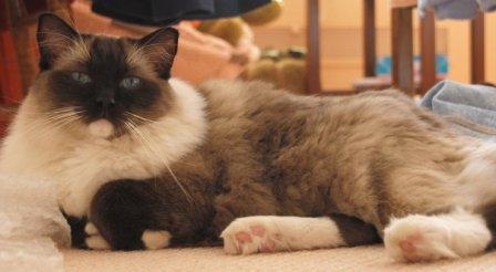 Find a Ragdoll Cat Breeder