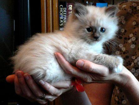 Pacificat Ragdolls Kittens