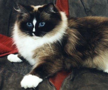 Ragdoll Patterns and Colors