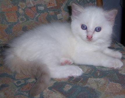 Lilac Kitten GUYSNDOLLS Ragdolls