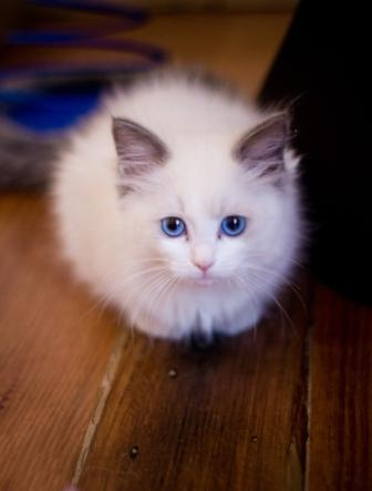 In Ragdoll Texas Kittens For Sale