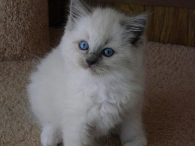 blue mitted kitten from angelkissed