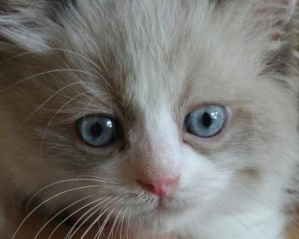 Jaxson, Ragdoll Kitten