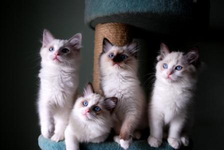 Pacificat Ragdoll Kittens